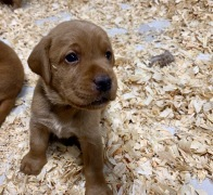 Fox Red Lab Puppies For Sale Balsam Branch Kennel Four Weeks Old (2)