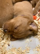 Fox Red Lab Puppies For Sale Balsam Branch Kennel Four Weeks Old (3)