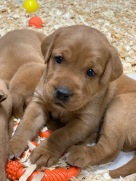 Fox Red Lab Puppies For Sale Balsam Branch Kennel Four Weeks Old (4)