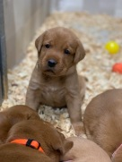 Fox Red Lab Puppies For Sale Balsam Branch Kennel Four Weeks Old (5)
