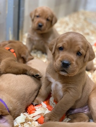 Fox Red Lab Puppies For Sale Balsam Branch Kennel Four Weeks Old (6)