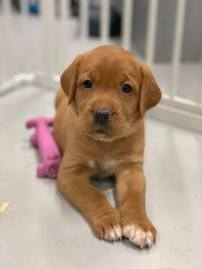 Fox Red Lab Puppy Balsam Branch Kennel Puppies For Sale Do You Wanna Play
