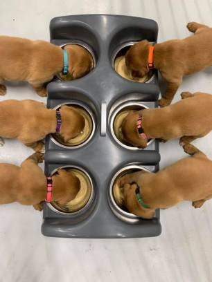 Fox Red Lab Puppy Balsam Branch Kennel Puppies For Sale New Feeding Dish