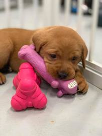 Fox Red Lab Puppy Balsam Branch Kennel Puppies For Sale New Toys