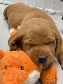 Fox Red Lab Puppy Balsam Branch Kennel Puppies For Sale Sleepy Puppy (1)
