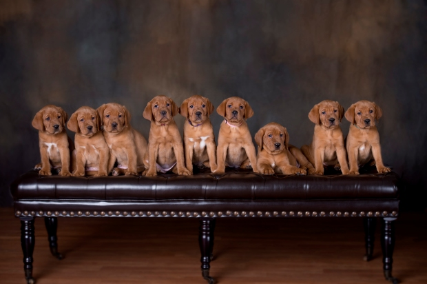 Fox Red Lab Puppy For Sale WI