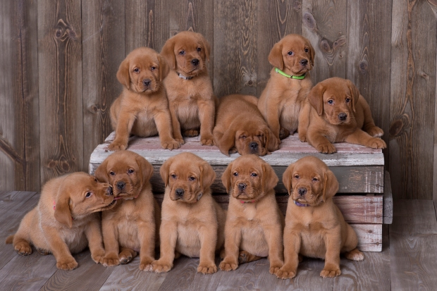 Balsam Branch Kennel Fox Red Lab Puppies for Sale6