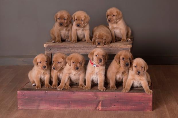 Fox Red Lab Puppies Balsam Branch Kennel Teak Okie 5 weeks