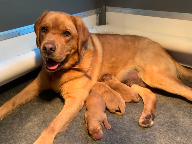 Fox Red Lab Puppies For Sale Balsam Branch Kennel Annie Blue