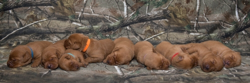 Balsam Branch Kennel Fox Red Lab Puppies for Sale-2 copy