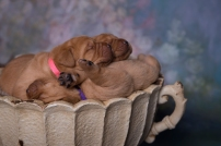 Balsam Branch Kennel Fox Red Lab Puppies for Sale-4