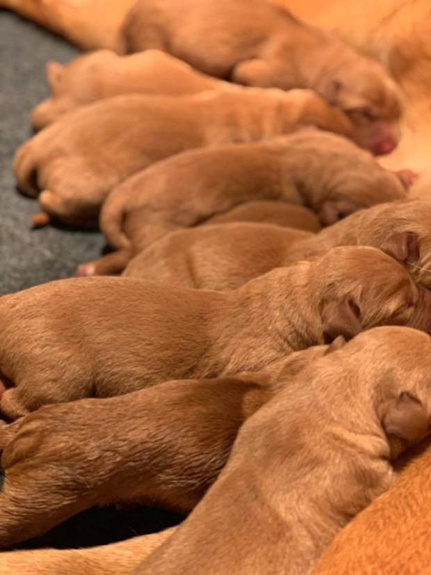 Fox Red Lab Puppies For Sale Balsam Branch Kennel Kimber Blue 3