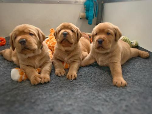 Fox Red Lab Puppies For Sale Balsam Branch Kennel Cute Puppies