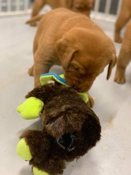 Fox Red Lab Puppies For Sale Balsam Branch Kennel Kimber and Blue