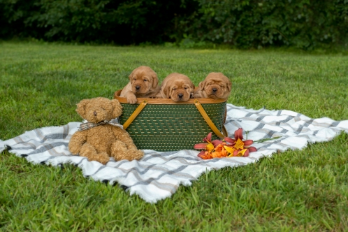 Balsam Branch Kennel Fox Red Lab Puppies for Sale-2