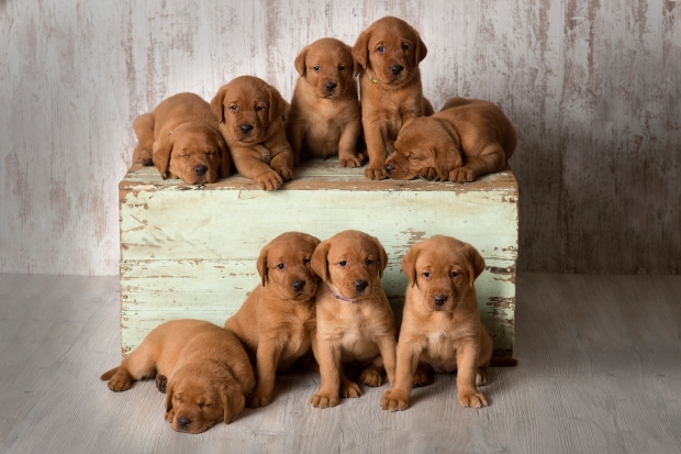 Balsam Branch Kennel Fox Red Lab Puppies for Sale-4wk