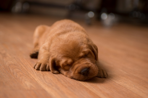 Balsam Branch Kennel Fox Red Lab Puppies for Sale-5