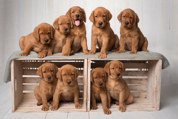 Balsam Branch Kennel Fox Red Lab Puppies for Sale-6