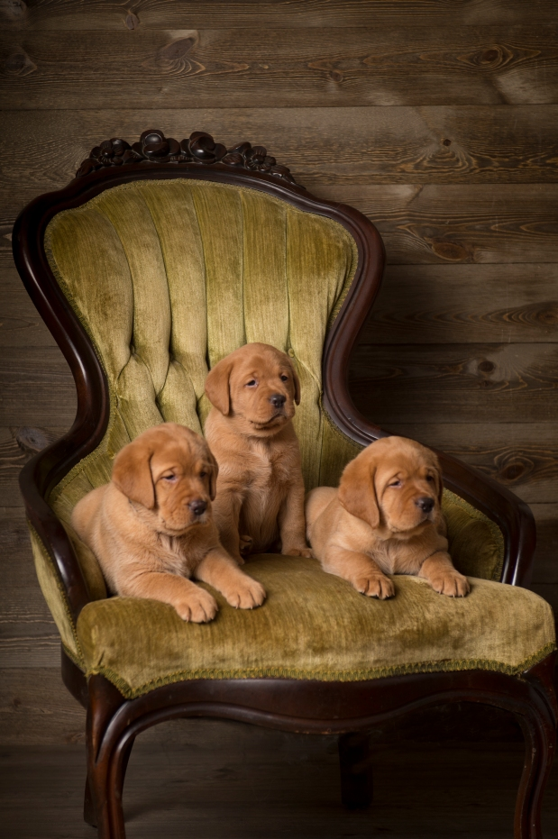 Balsam Branch Kennel Fox Red Lab Puppies for Sale copy 3