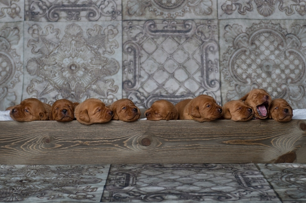 Balsam Branch Kennel Fox Red Lab Puppies for Sale