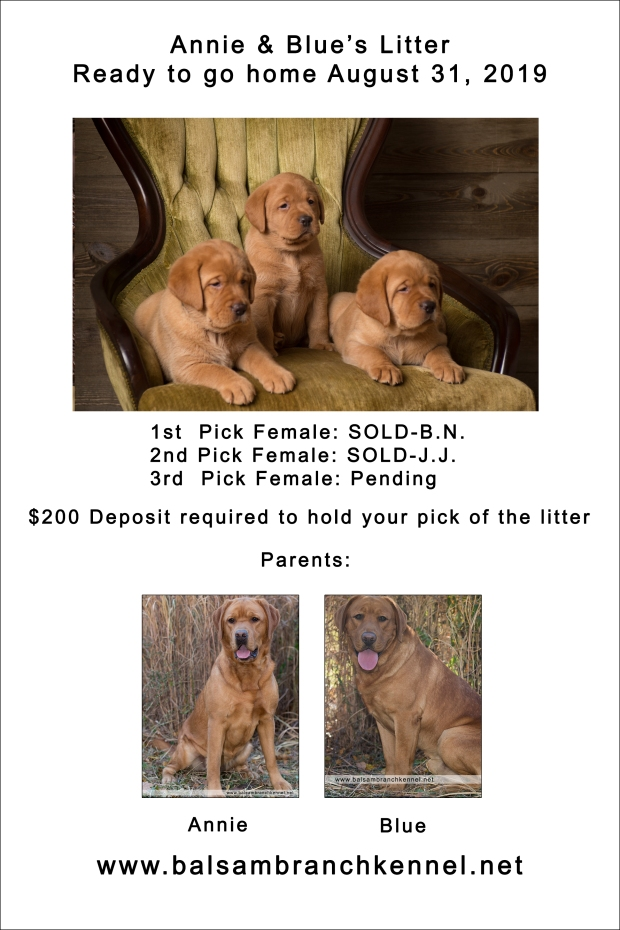 fox red lab puppies for sale wi 5wk