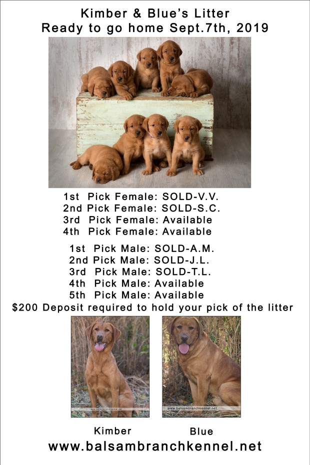 fox red lab puppies for sale wi4wk