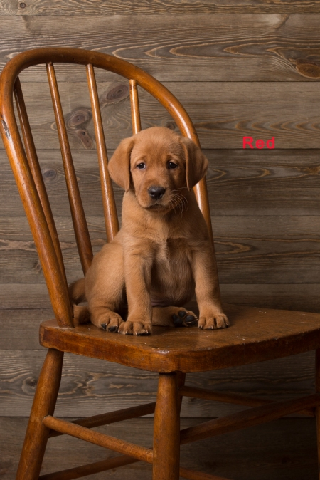 Balsam Branch Kennel Fox Red Lab Puppies for Sale-10