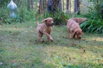 Balsam Branch Kennel Fox Red Lab Puppies for Sale-11