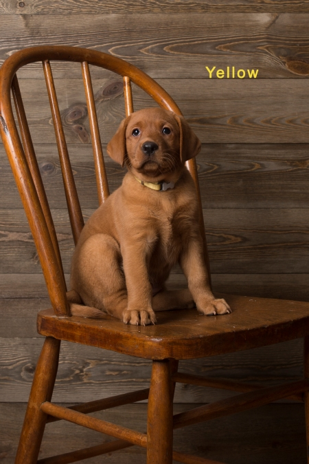 Balsam Branch Kennel Fox Red Lab Puppies for Sale-12