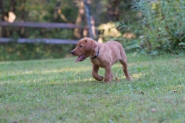 Balsam Branch Kennel Fox Red Lab Puppies for Sale-13