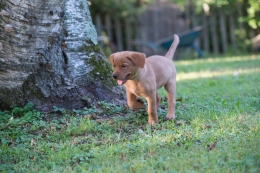Balsam Branch Kennel Fox Red Lab Puppies for Sale-14