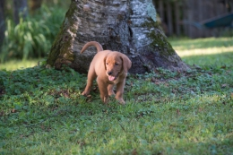 Balsam Branch Kennel Fox Red Lab Puppies for Sale-15