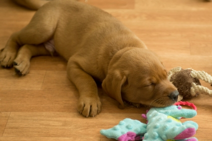 Balsam Branch Kennel Fox Red Lab Puppies for Sale-17