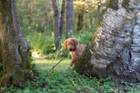 Balsam Branch Kennel Fox Red Lab Puppies for Sale-18