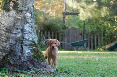Balsam Branch Kennel Fox Red Lab Puppies for Sale-19