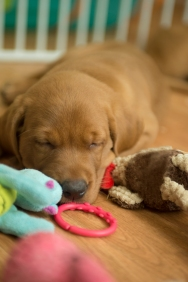 Balsam Branch Kennel Fox Red Lab Puppies for Sale-20