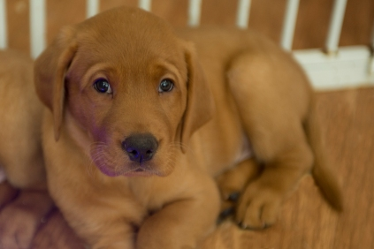 Balsam Branch Kennel Fox Red Lab Puppies for Sale-21