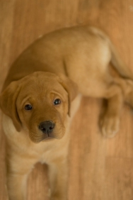 Balsam Branch Kennel Fox Red Lab Puppies for Sale-23