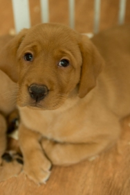 Balsam Branch Kennel Fox Red Lab Puppies for Sale-30