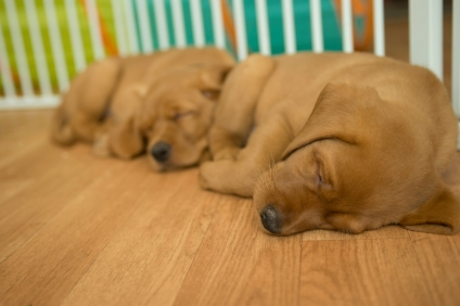 Balsam Branch Kennel Fox Red Lab Puppies for Sale-31