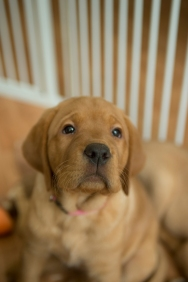 Balsam Branch Kennel Fox Red Lab Puppies for Sale-32