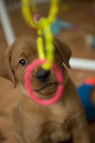 Balsam Branch Kennel Fox Red Lab Puppies for Sale-35
