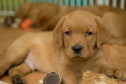 Balsam Branch Kennel Fox Red Lab Puppies for Sale-36