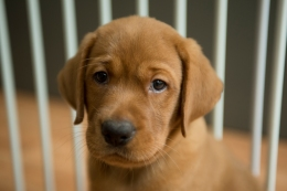 Balsam Branch Kennel Fox Red Lab Puppies for Sale-37