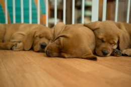 Balsam Branch Kennel Fox Red Lab Puppies for Sale-38