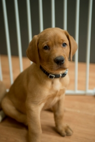 Balsam Branch Kennel Fox Red Lab Puppies for Sale-40