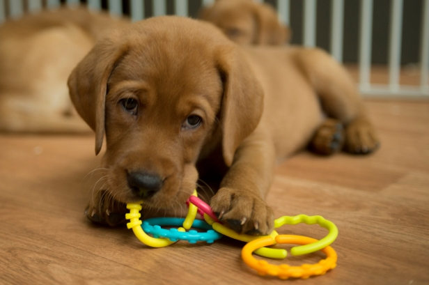 Balsam Branch Kennel Fox Red Lab Puppies for Sale-41
