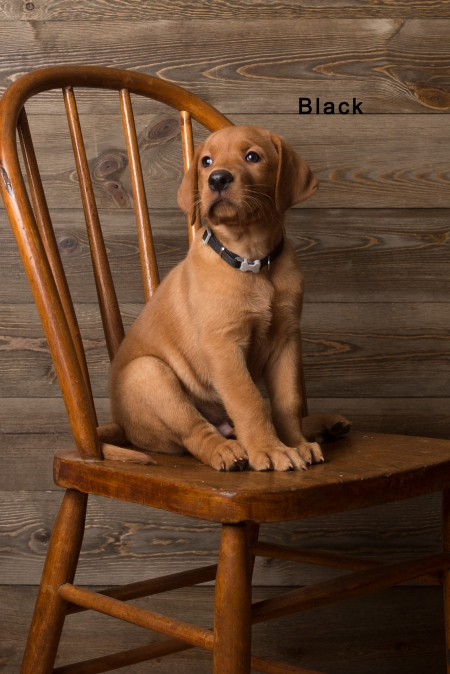 Balsam Branch Kennel Fox Red Lab Puppies for Sale-7