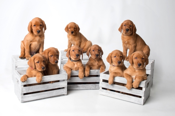 Balsam Branch Kennel Fox Red Lab Puppies for Sale-7wk