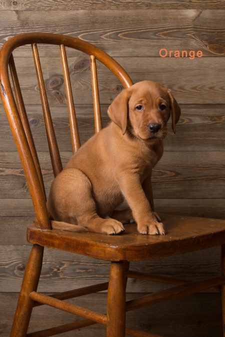 Balsam Branch Kennel Fox Red Lab Puppies for Sale-8
